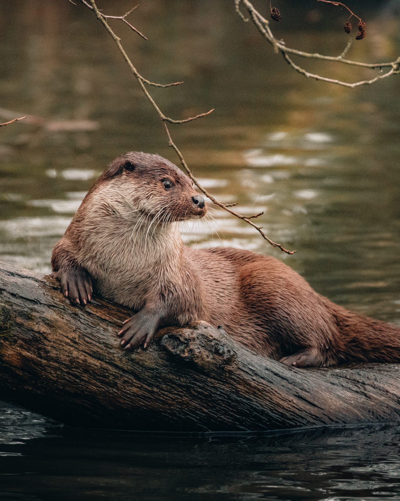 Beaver on top of a tree on a loch